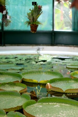 Waterlily leaves in a pond. Botanical garden in Zagreb, Croatia. Selective focus. Stock Photo