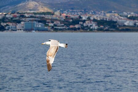 Seagull flying above the sea. Coast of Split, Croatia in the background. Selective focus.