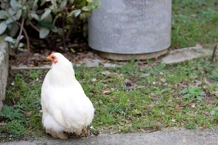 White free range chicken in a garden. Selective focus.