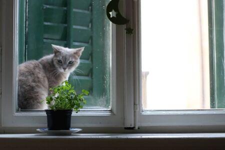Maceta con perejil y gato en una ventana rústica de estilo mediterráneo. Enfoque selectivo. Foto de archivo