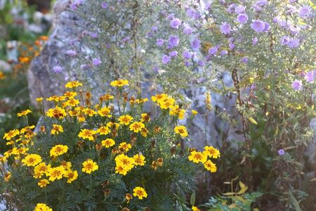 Yellow and purple flowers in a beautiful garden, illuminated by sunlight. Selective focus.