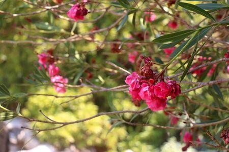 Bright pink olenader nerium flowers in rustic Mediterranean garden. Selective focus.