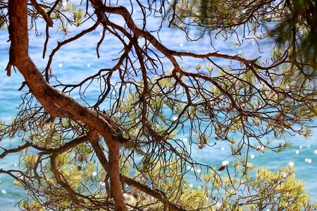 Pine tree on a beach. Selective focus. 版權商用圖片