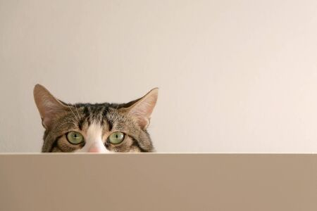 Domestic tabby cat hiding behind furniture. Selective focus. Stock Photo