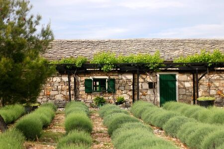 Lavender field and traditional Mediterranean architecture in the countryside. Village in dalmatia region, Croatia. Imagens