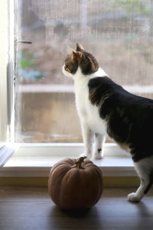 Pumpkin on a table and domestic cat looking through the window. Selective focus.