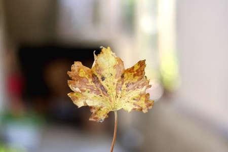 Unrecognizable person holding colorful autumn leaf. Selective focus.