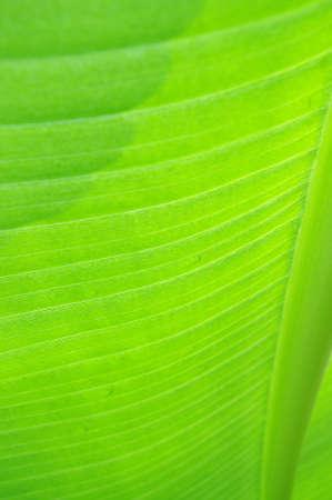 close up view of pagemusaceae Ensete ventricosum in botanic gardens photo