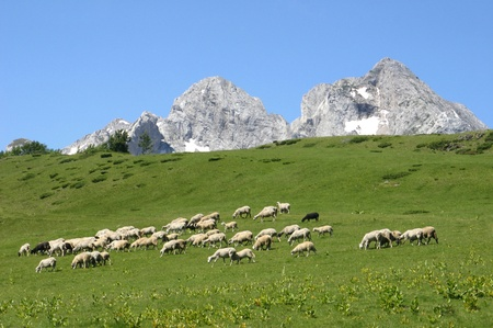 Herd of sheeps on a sunny meadow photo