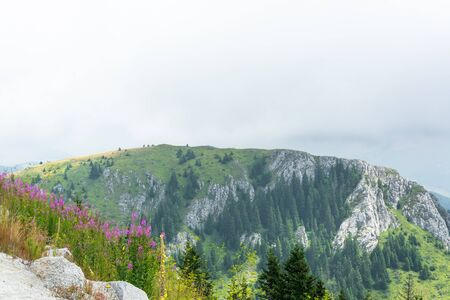 Pink mountain flowers in front of rocky hill covered with green grass and pine trees against cloudy sky Reklamní fotografie
