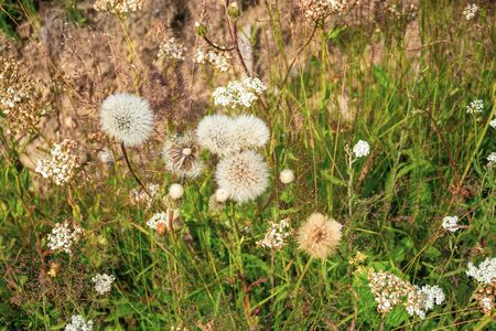Fluffy white dandelion flowers on dry summer meadow Stock Photo