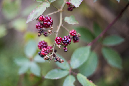 Close up view of the wild blackberry on blurred background Standard-Bild