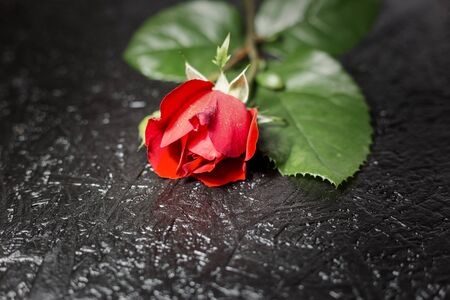 Close-up photo of beautiful red rose on black background, copy space for text.