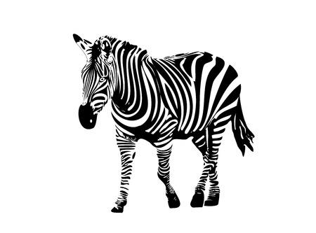 freaked: Vector illustration of zebra
