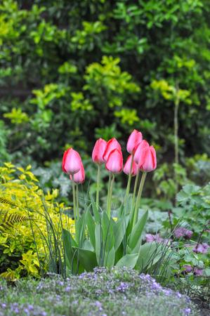 Flowers garden nature tulips pink love the netherlands plants