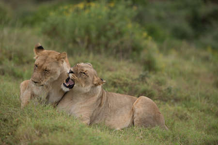 africa kiss: Female lions