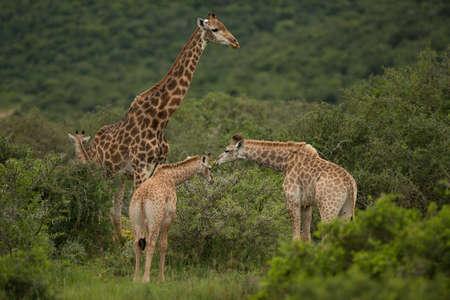 safari animal: Group of giraffe