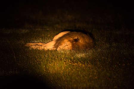big5: Sleeping lion during the night patrol Stock Photo