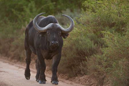 big5: Buffalo on the road