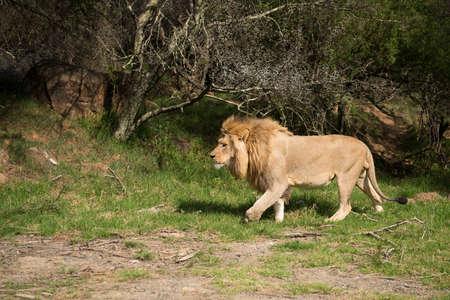 big5: male lion