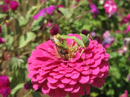 predatory insect: Green Mantis Eating A Victim On A Pink Flower