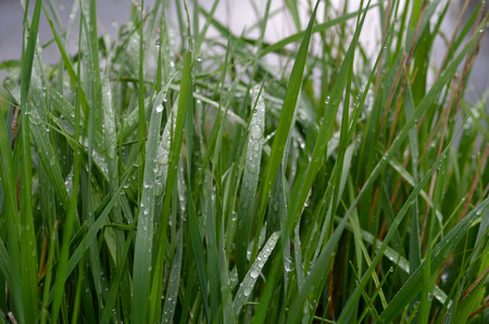 Dew on Green Grass in the Early Morning