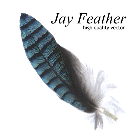 jay: Jay Feather High Quality Vector