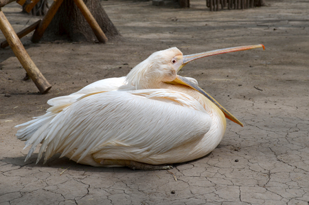 gregarious: Big white pelican at the zoo Stock Photo
