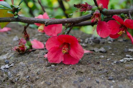 membrillo: manzana roja flor del �rbol de membrillo