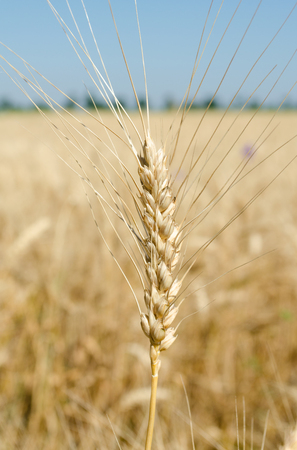 ears of wheat in the field close up photo