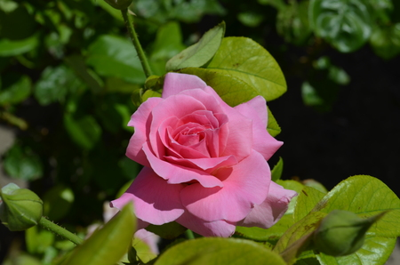 Rose bloom in the garden close-up photo