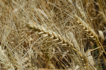 crop margin: ears of wheat in the field close up photo