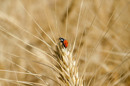 Ladybug on ear of wheat in the field close-up photo