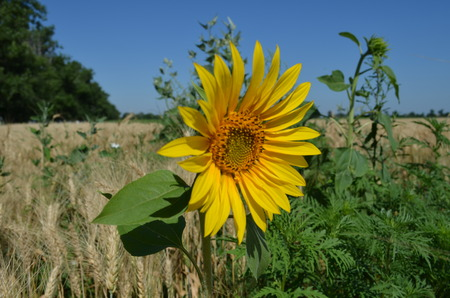 Small yellow Sunflower in the field close-up photo Stock Photo