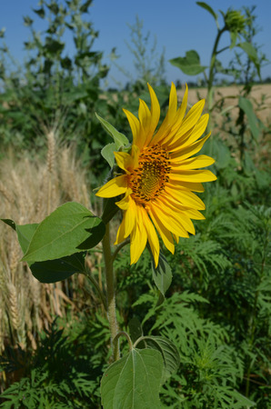 crop margin: Small yellow Sunflower in the field close-up photo Stock Photo