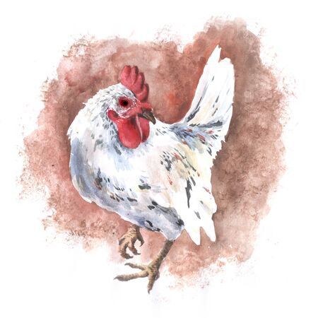 Domastic white chicken watercolor drawing rooster hen