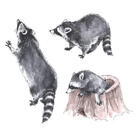 Hand drawn watercolor three raccoons isolated on white background