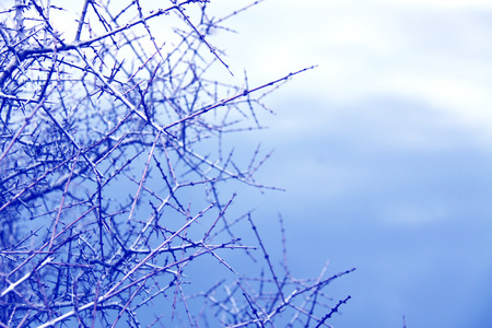 thorny: Thorny branches on a gloomy cloudy sky.