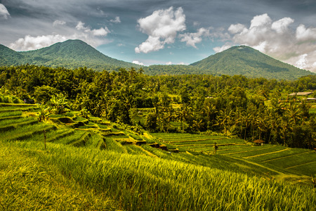 agriculturalist: Jatiluwih Rice Field at Bali