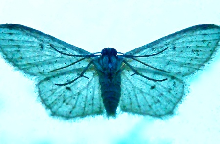 A bluish tint of moth resting on a window. Stock Photo