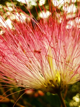 A vibrantly hot pink mimosa.