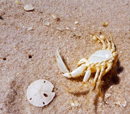 A crab shell sitting beside a sandollar.