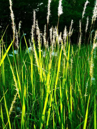 Feathery grass growing in my backyard. Stock Photo
