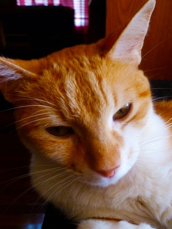 Orange and white Tabby pondering deeply.