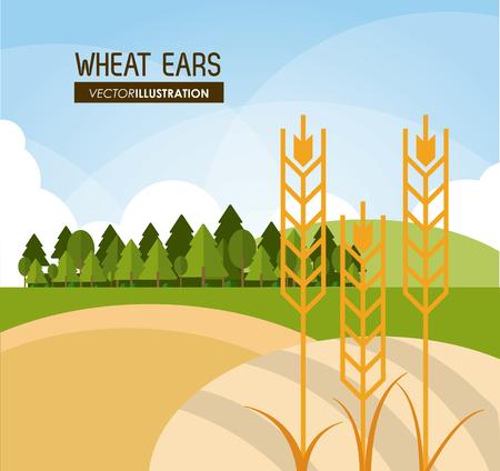 champ de mais: oreilles de blé notion avec l'icône de conception, illustration vectorielle 10 eps graphique.
