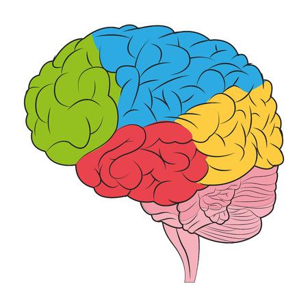 El diseño plano del cerebro humano con diferentes partes de la ilustración de color distintivo del icono del vector