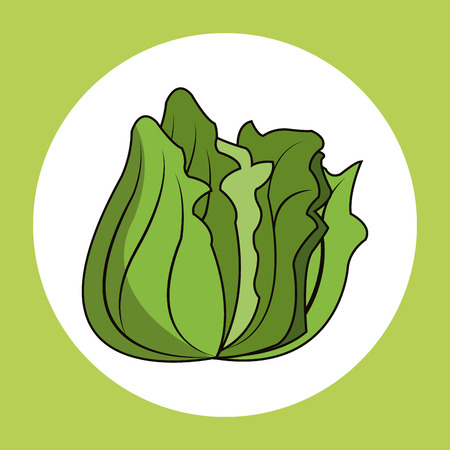 lettuce healthy fresh image vector illustration