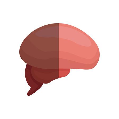 thalamus: brain human part healthy organ image vector illustration Illustration