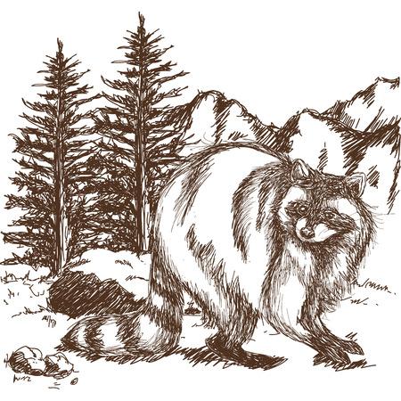 raccoon sketch. hand drawing of wildlife. landscape vintage engraving style. vector illustration