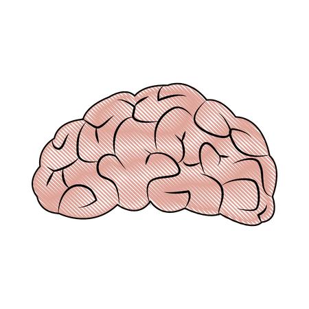 drawing brain human organ part anatomy vector illustration